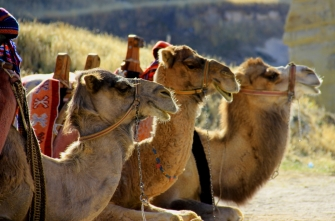 Kappadokyan Camels