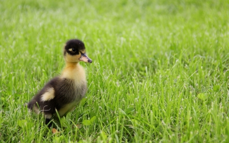 Elma the duckling! Our first pet!