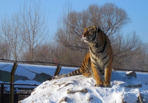 The Majestic Siberan Tiger!