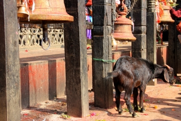 A Goat Awaiting his Fate on the Sacrificial Table - Manakamana, Nepal