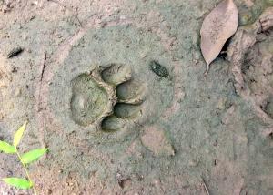 Tiger Tracks!