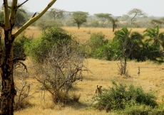 Look closely! The lioness is chasing a gazelle!