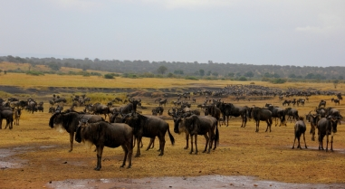 Almost 2 million wildebeests migrate every year!