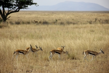 These gazelles better be careful (can you see the lioness stalking them?)...