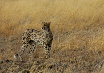 The cheetah is rare to spot, but this was one of the first animals we saw on day one!