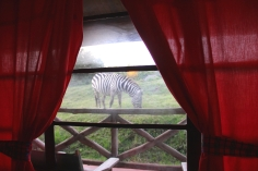 And the zebras aren't too shy when they can't see you!