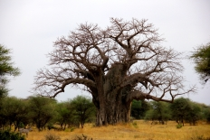 The Baobab tree is one of the oldest trees in the world - this one is thousands of years old!
