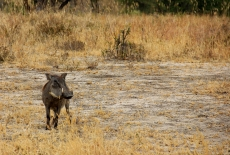 The warthog is perhaps the most skittish animal in Africa (they didn't like to have their picture taken)...
