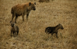 This family of hyenas had a den just outside our campsite (aren't the cubs so cute?!)...